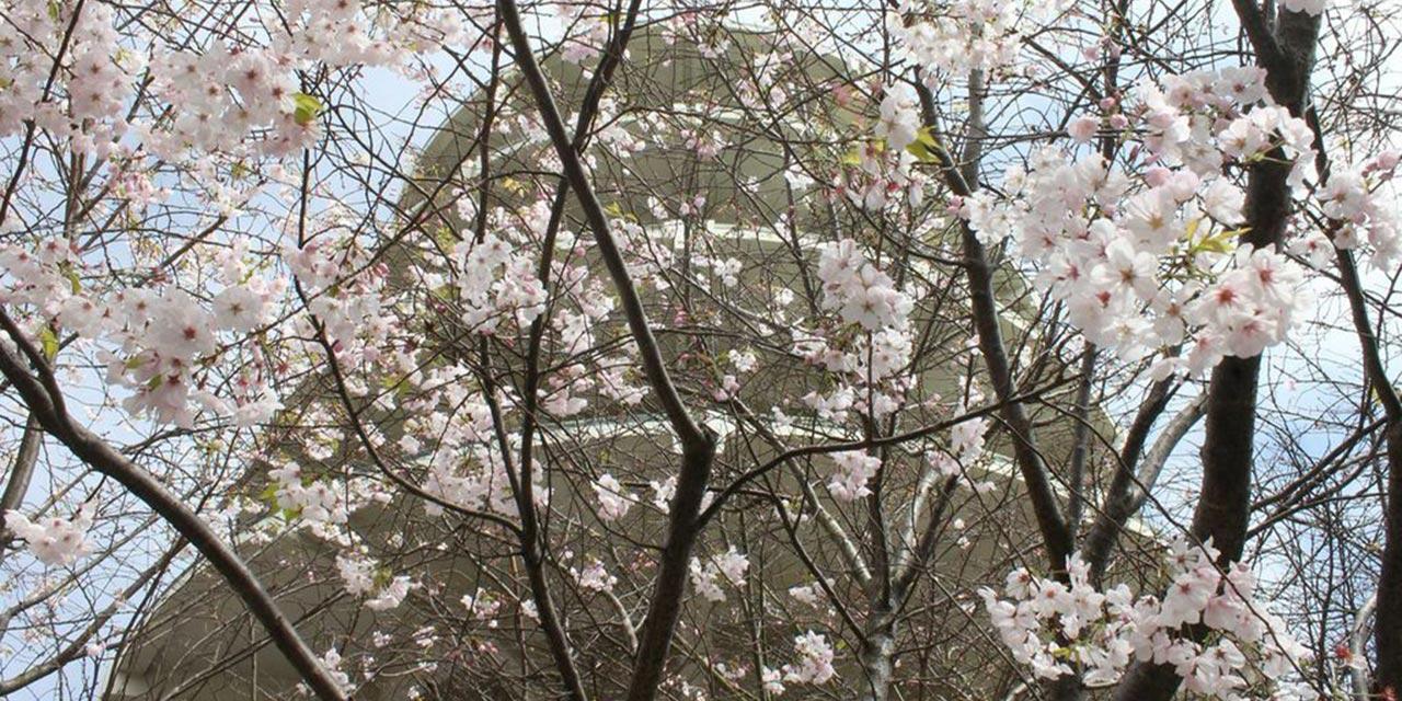 Northern California Cherry Blossom Festival Visit California
