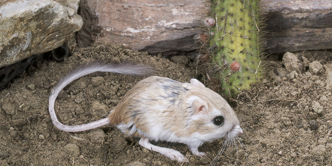 Kangaroo Rat | Visit California