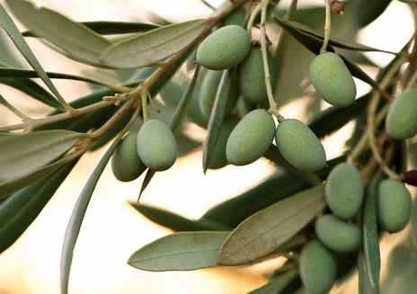 Always in Season: Olive Oil