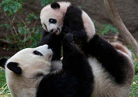 Pandas Gigantes