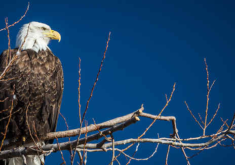 See Bald Eagles