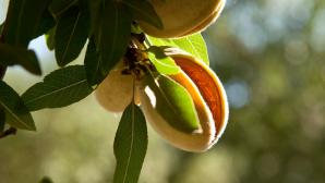 Always in Season: Almonds & Wine Grapes California Almonds - The Almond