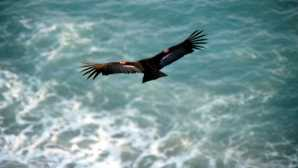 Parque Estadual Julia Pfeiffer Burns California Condor Reintroduction