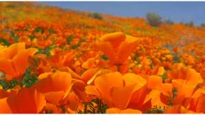 Antelope Valley California Poppy Reserve California Poppy Festival | Apri