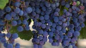 Healdsburg Crush and Harvest Events in Sono