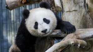 Special Experiences at the San Diego Zoo Early Morning with Pandas | San