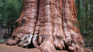 Aventuras Guiadas em Sequoia e Kings Canyon General Sherman, the biggest tre