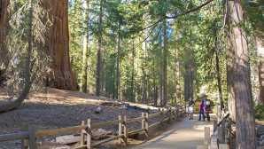 Anreise Grant Grove Area Trails - Sequoi