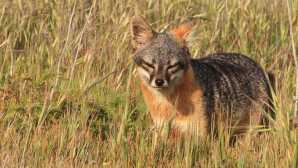 サンタクルーズ島 Island Fox - Channel Islands Nat