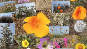 Antelope Valley California Poppy Reserve Screen Shot 2016-11-07 at 11.08.03 AM_0