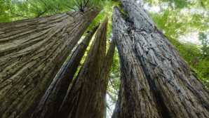 高树树林 Tall Trees - Redwood National an