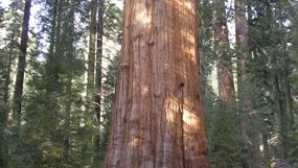 Destaque: Parques Nacionais Sequoia e Kings Canyon  The General Sherman Tree - Sequo