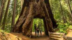 Yosemite Area Regional Transportation System (YARTS) Tuolumne Grove Giant Sequoia - Kim Carroll Photography