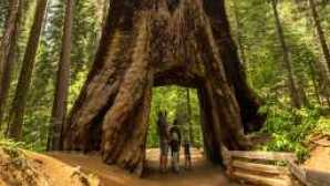 Yosemite Area Regional Transportation System (YARTS) Tuolumne Grove Giant Sequoia - Kim Carroll Photography_0