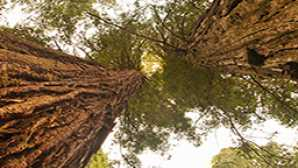 Spotlight: Redwood National & State Parks vca_resource_ShrineTree_256x180