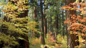 Calaveras Big Trees State Park vca_resource_calaverascounty_256x180