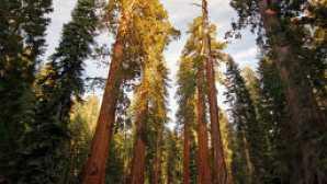 시에라의 만개한 야생화 vca_resource_giantsequoias_256x180