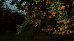 Placer County Mandarin grove