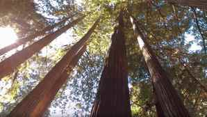 wanderbird_productions-north_coast_redwood3