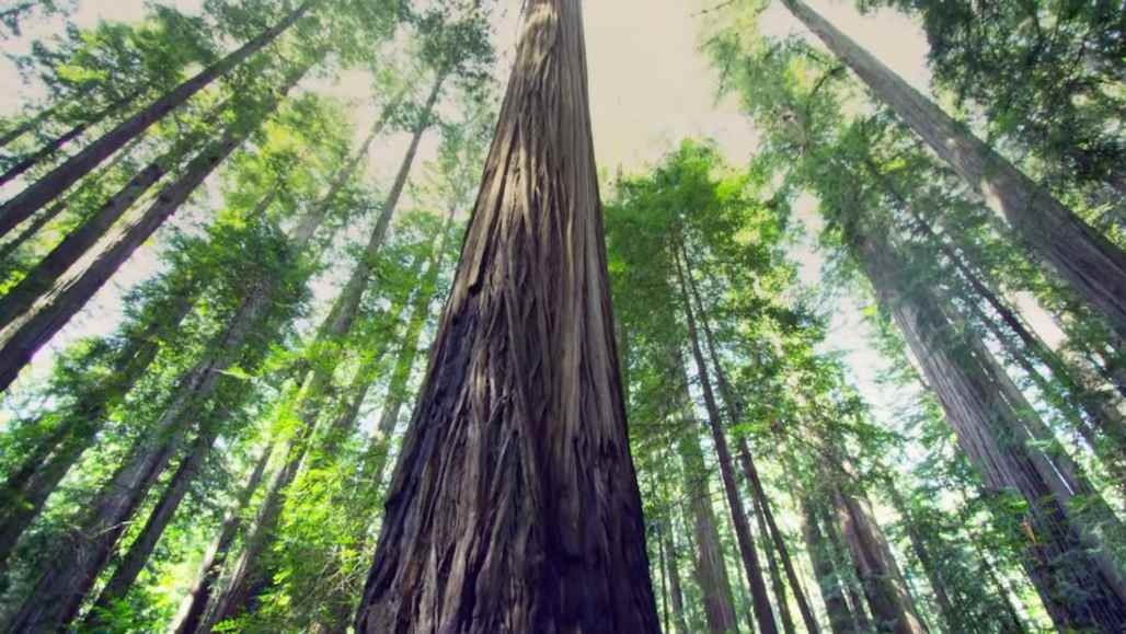 The Redwoods: Growing is Forever Video_KeyFrameOnly_Curated_GrowingisForever