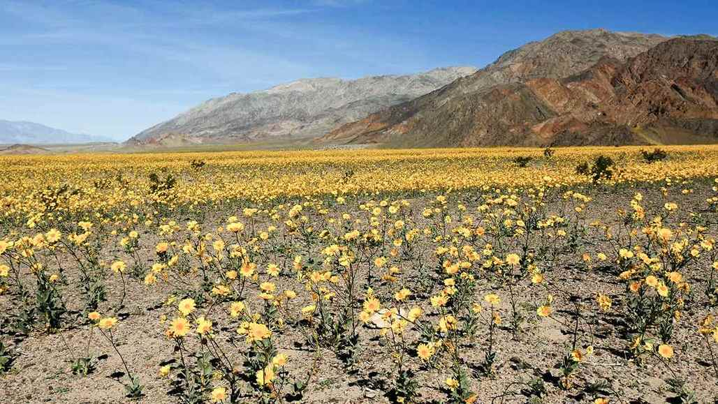 Le parc national de la Vallée de la Mort vc_ca101_videothumbnail_nationalparks_deathvalley_wildflowers_1280x7202