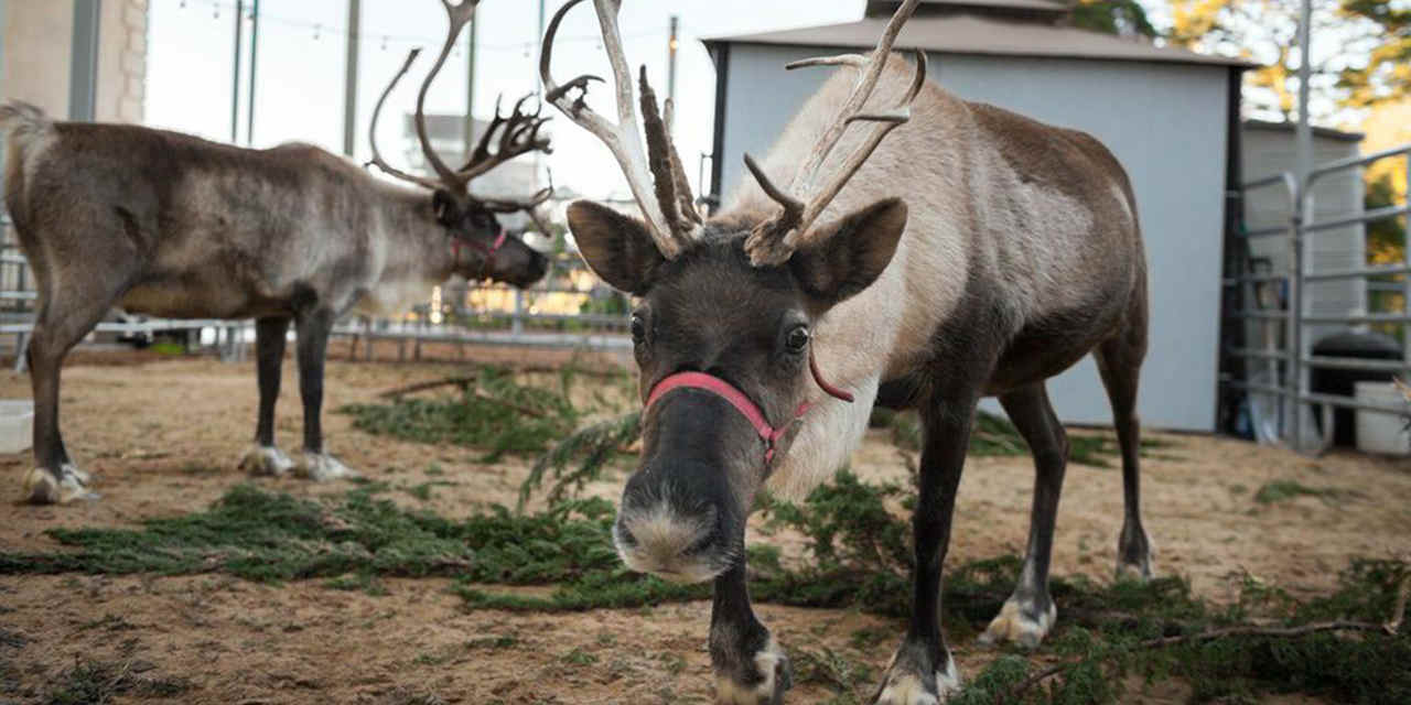 San Francisco Zoo's Reindeer Games