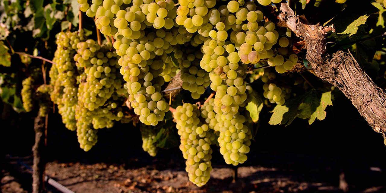 Always in Season: Wine Grapes