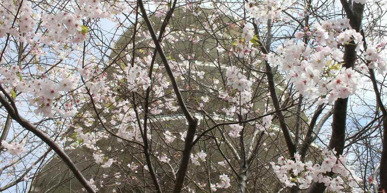 북부 캘리포니아의 벚꽃 축제