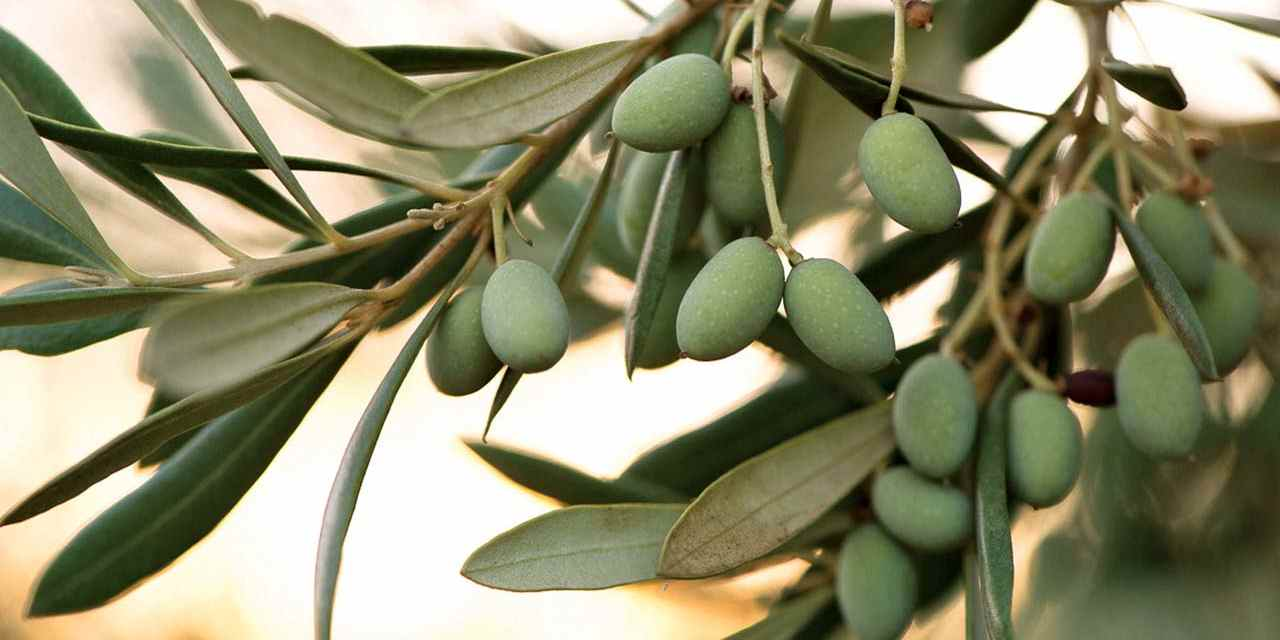 Always in Season: Olive Oil