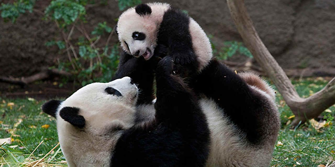 I panda giganti