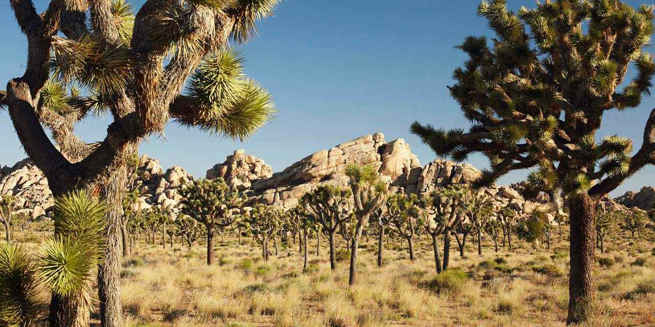 En vedette : le parc national de Joshua Tree