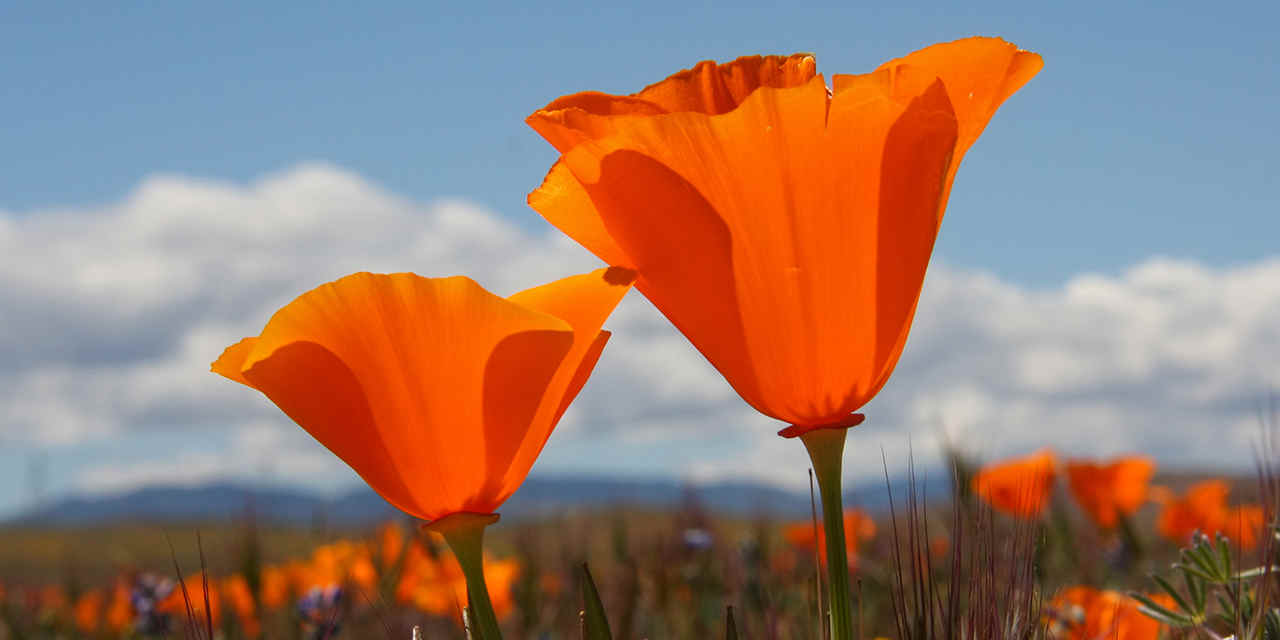 Discover Los Angeles County VC_AntelopeValleyPoppyPreserve_Breaker_Stock_RF_134975816_1280x640