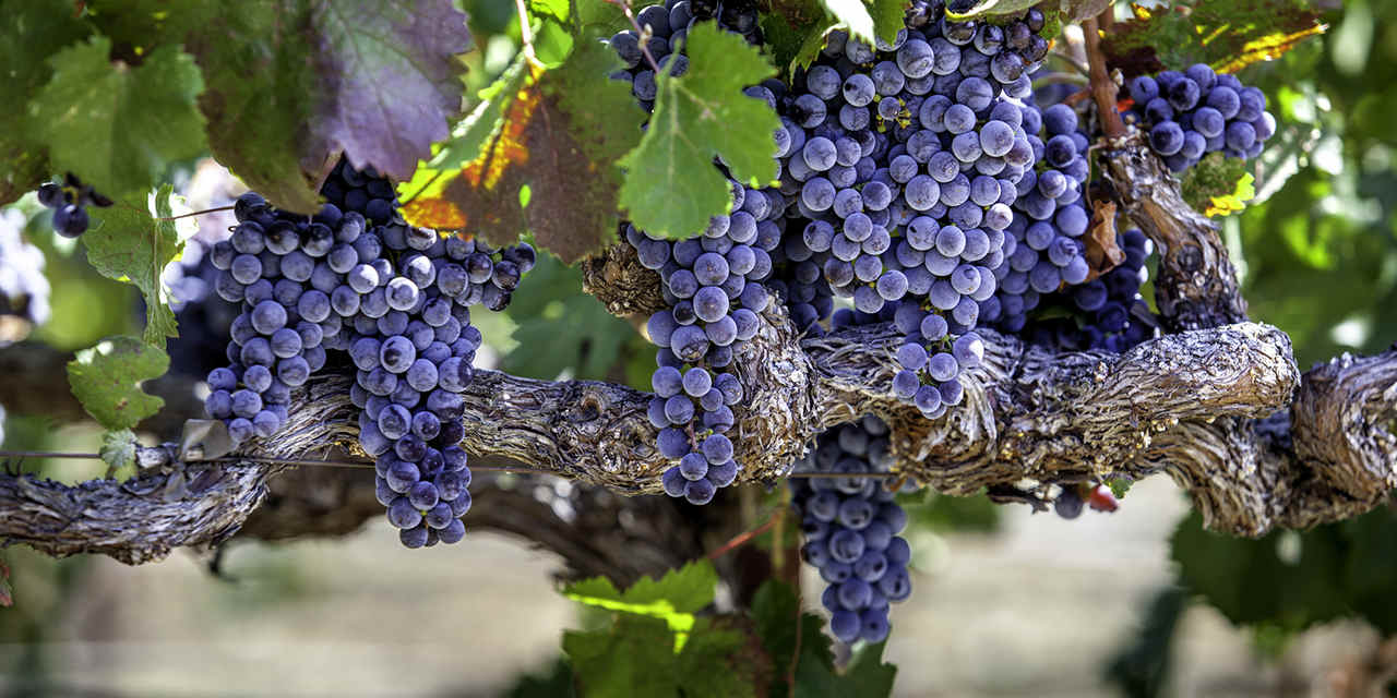 Spotlight: Sonoma County VC_SpotlightSonoma_Breaker_WineGrapes_Stock_RF_525141953_1280x640